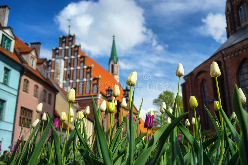 Tulips on the background of spiers in Riga. Tulips on the background of old houses spiers of churches in Riga in the square on a clear spring day stock photo