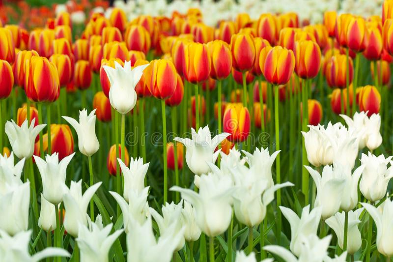 Tulips. A beautiful field of colorful, blooming tulips royalty free stock images