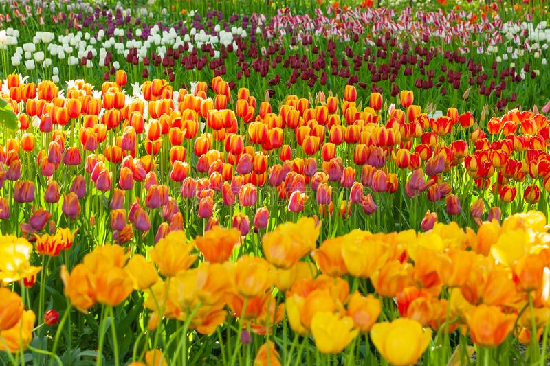 Tulips. A beautiful field of colorful, blooming tulips royalty free stock photography