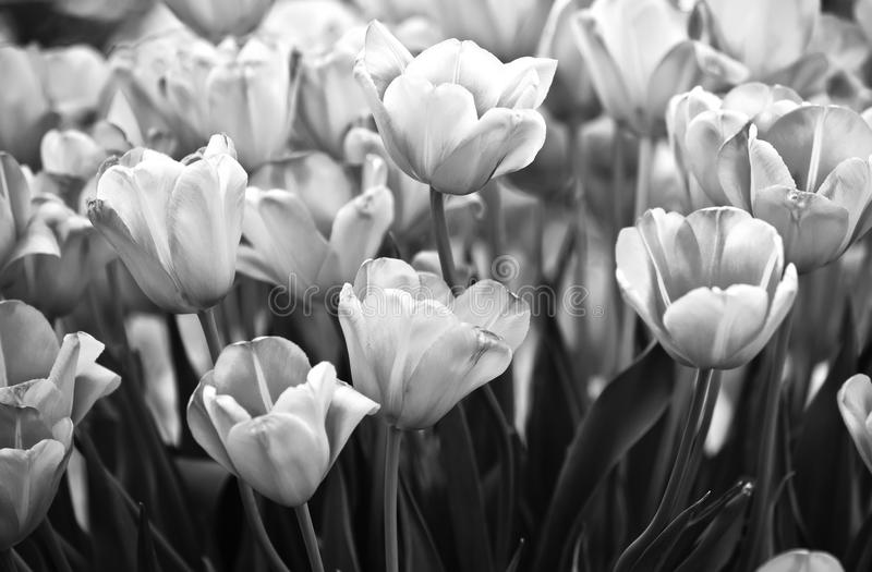 Tulips in black and white royalty free stock image