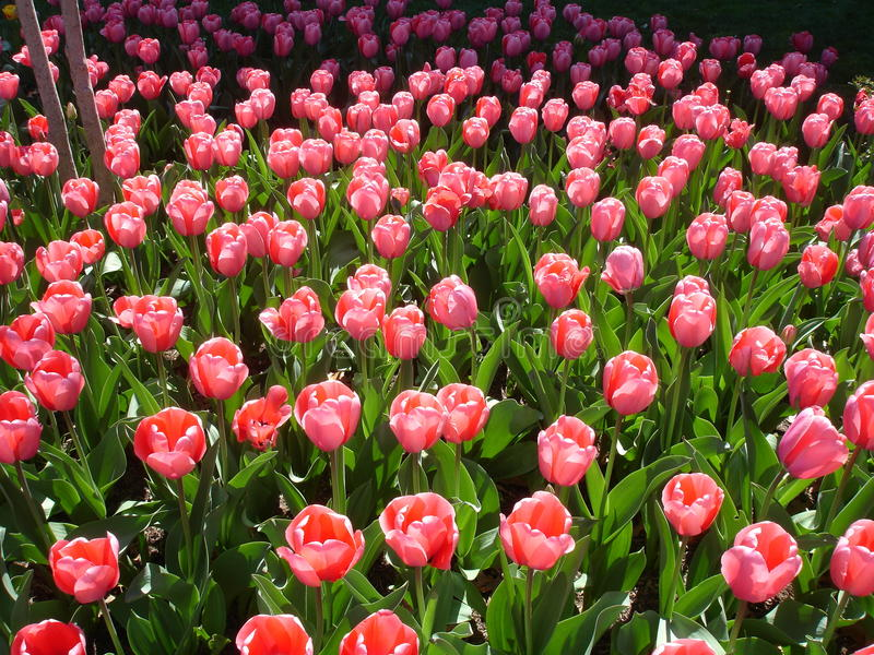 Tulips bloom in spring Wahington DC stock image