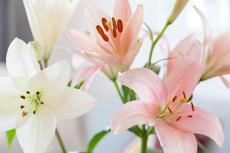 Tulips blooming. Shallow depth of filed royalty free stock photography