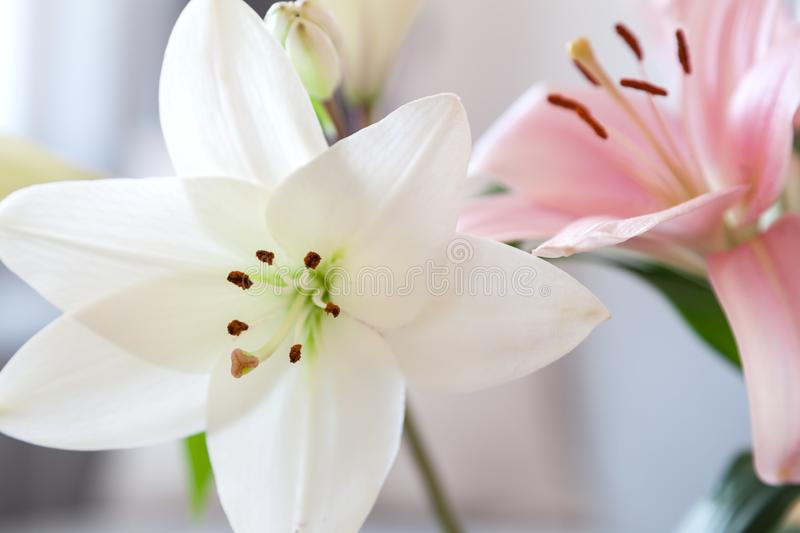 Tulips blooming. Shallow depth of filed royalty free stock images