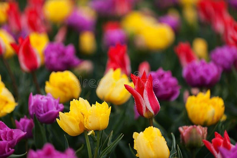 Tulips blooming in show garden stock photos