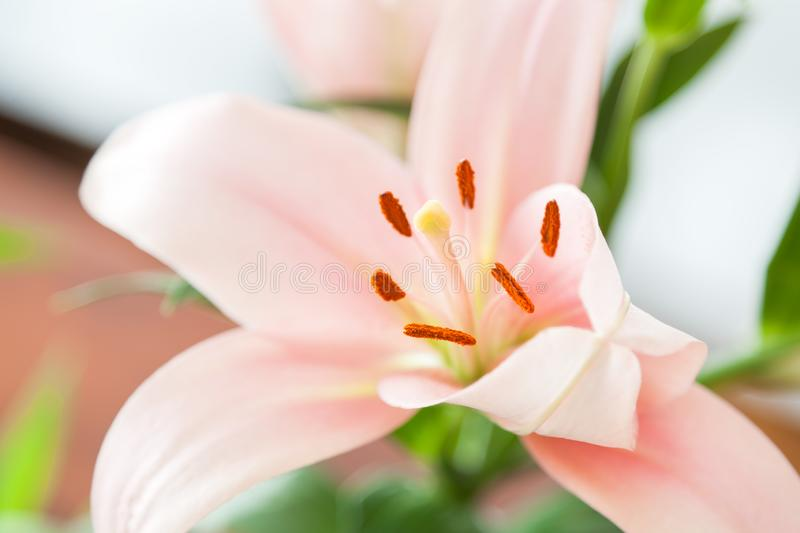Tulips blooming. Shallow depth of filed royalty free stock photos