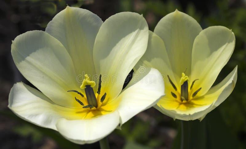 Tulips bonitos do por do sol imagens de stock royalty free