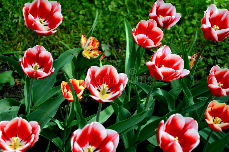 Tulips in the Botanical garden in Cluj Napoca, Transylvania. royalty free stock photography