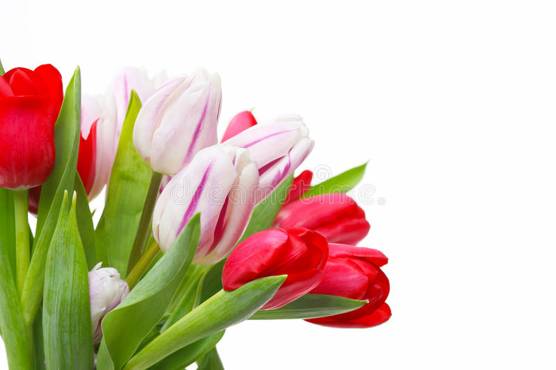 Tulips bouquet, isolated on white stock image