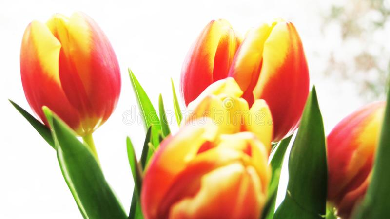 Tulips Bouquet in yellow and red stock photos
