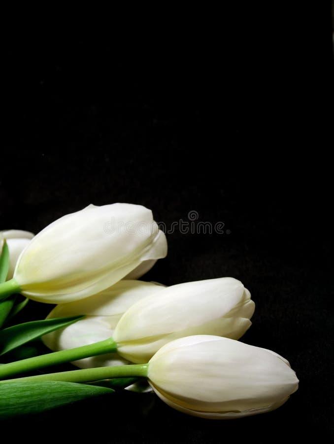 Tulips brancos imagem de stock