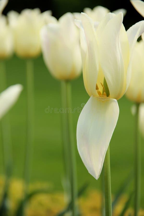 Tulips brancos fotografia de stock royalty free