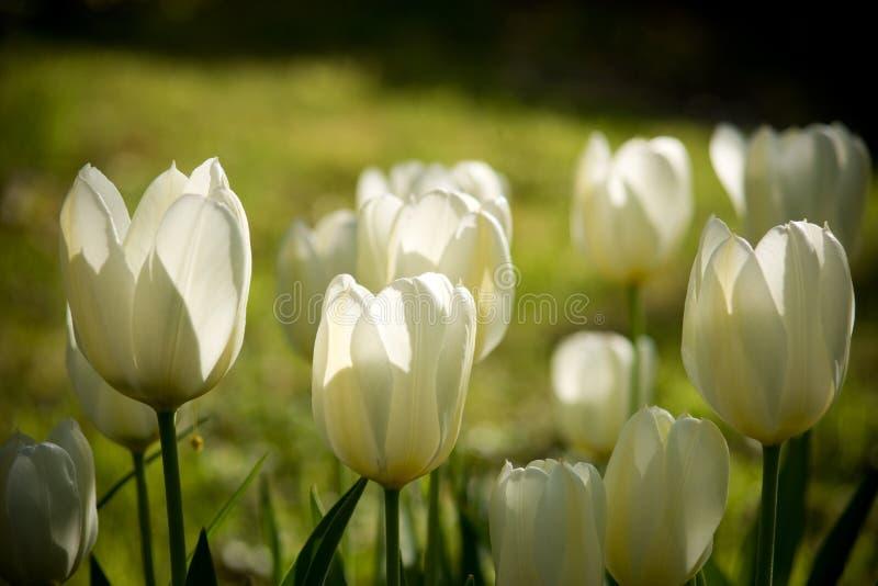 Tulips brancos e amarelos imagem de stock