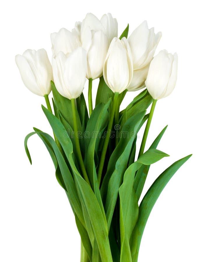 Tulips brancos isolados fotos de stock
