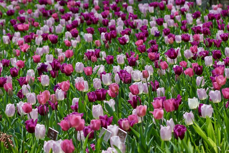 Tulips in brookside garden stock image. Image of colorful - 90821873