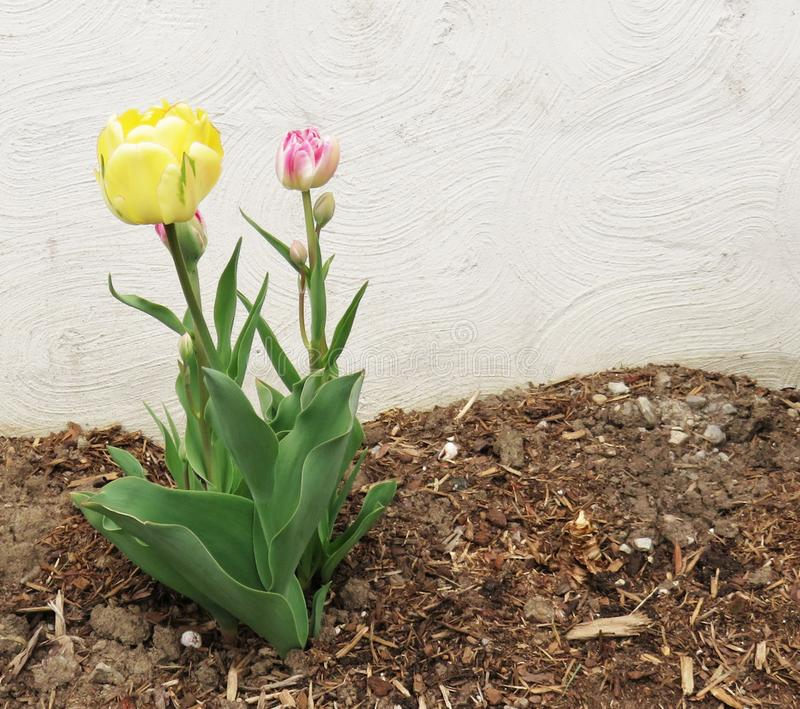 Tulips budding in a Mulch Flower Bed, White Background royalty free stock photos