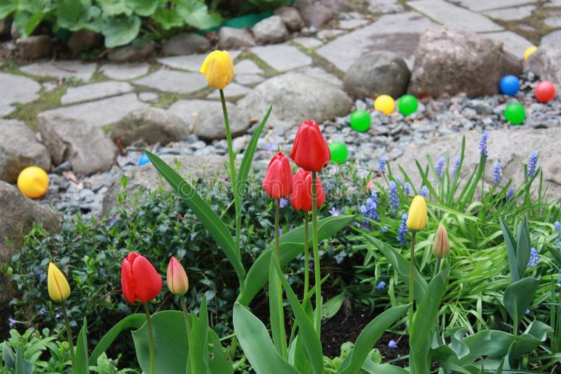 Tulips in the city garden royalty free stock photo