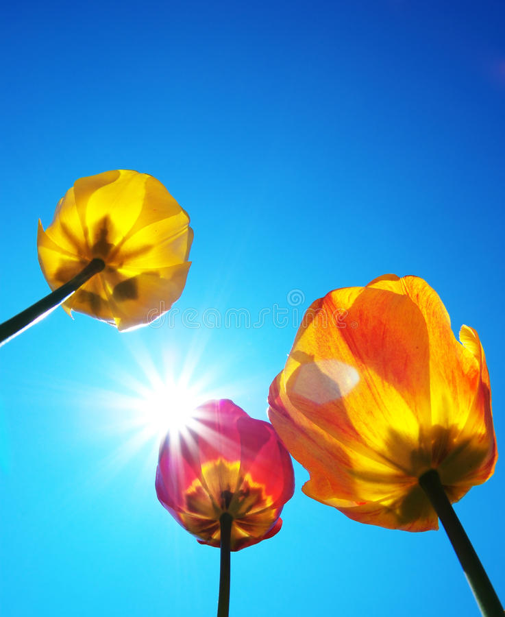 Download Tulips and clear sky stock photo. Image of colorful, below - 14296502
