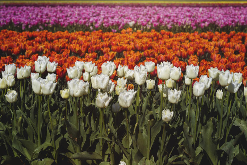 Tulips color lines royalty free stock photo