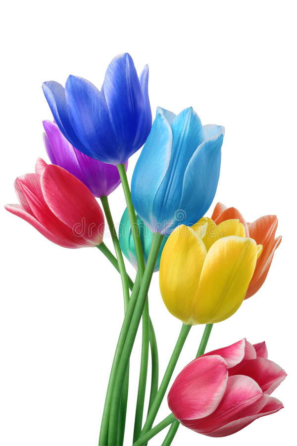 Tulips colored royalty free stock photo