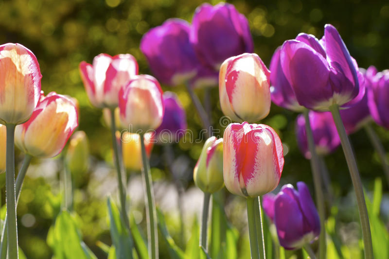 Download Tulips Royalty Free Stock Images - Image: 30970769