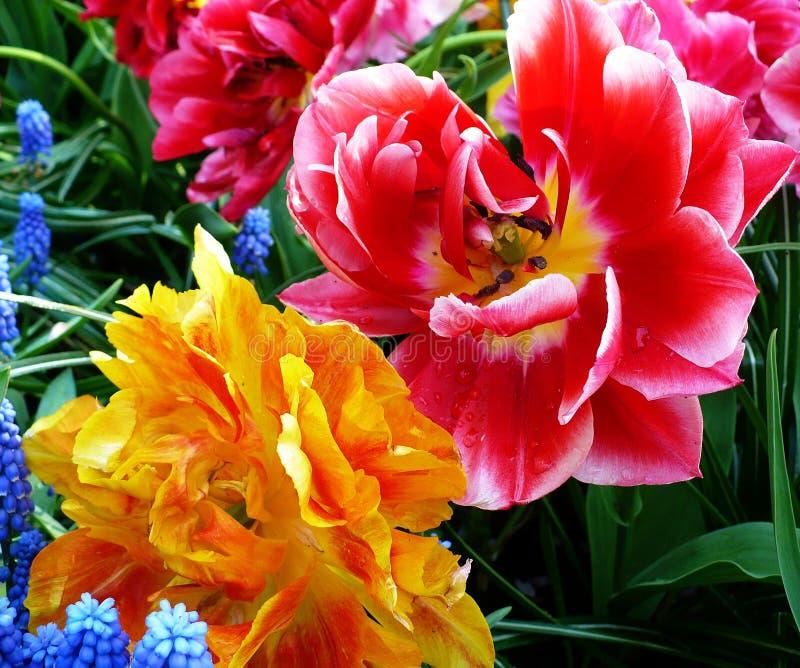 Tulips coloridos fotos de stock royalty free