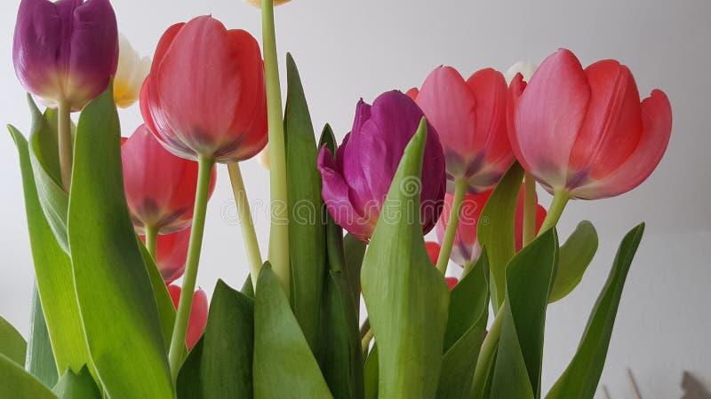 Tulips coloridos imagens de stock royalty free