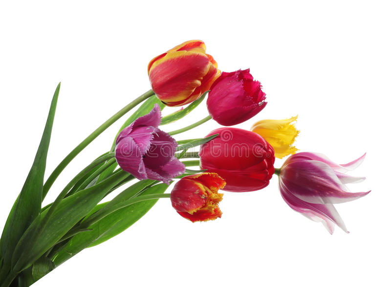 Tulips coloridos isolados no branco foto de stock