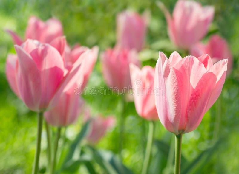 Tulips cor-de-rosa das flores imagem de stock