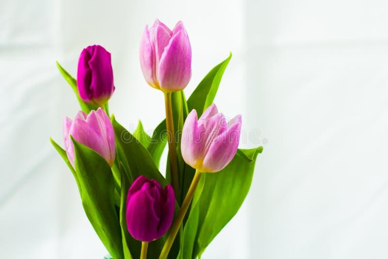 Tulips cor-de-rosa e roxos fotos de stock royalty free
