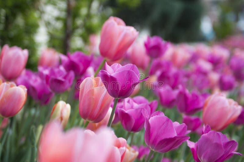 Tulips cor-de-rosa e roxos foto de stock royalty free