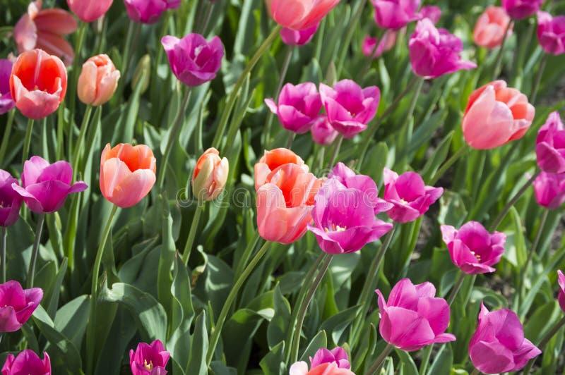 Tulips cor-de-rosa e roxos imagens de stock royalty free