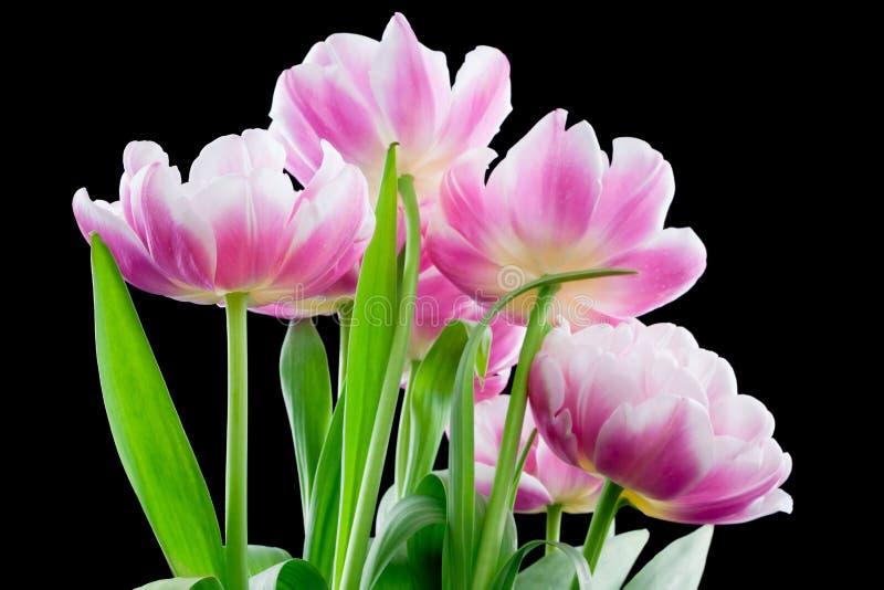 Tulips cor-de-rosa extravagantes no preto fotografia de stock royalty free