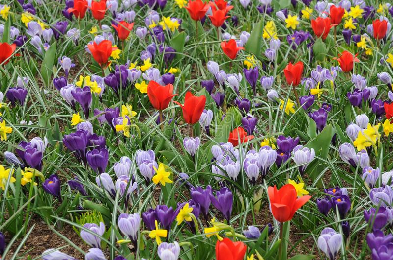 Meadow full of spring flowers. Tulips daffodils and corcus, a meadow full of colorful spring flowers in netherlands stock photos