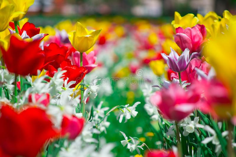 Tulips and Daffodils details. Background. Colorfull spring flowers blooming. Spring season stock photo