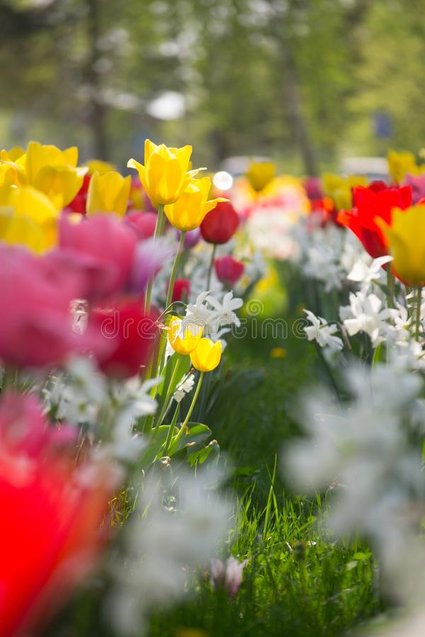 Tulips and Daffodils details. Background. Colorfull spring flowers blooming. Spring season royalty free stock images