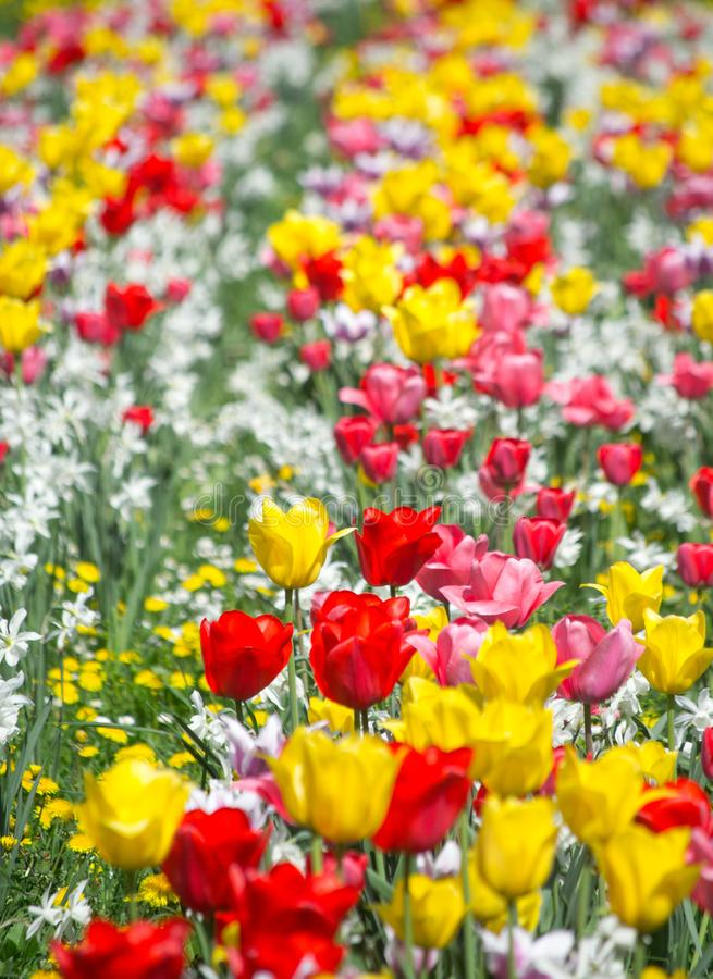 Tulips and Daffodils details. Background. Colorfull spring flowers blooming. Spring season stock photos