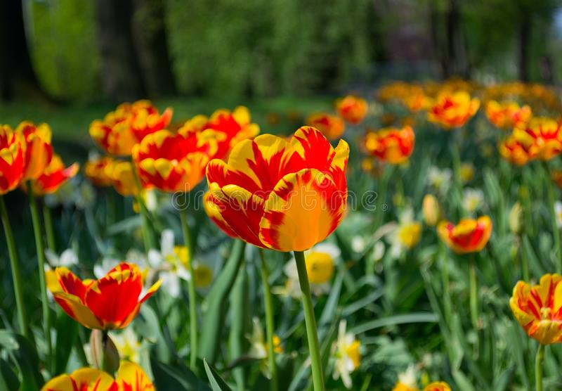 Tulips and Daffodils details. Background. Colorfull spring flowers blooming. Spring season royalty free stock photography