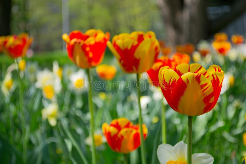 Tulips and Daffodils details. Background. Colorfull spring flowers blooming. Spring season royalty free stock photo