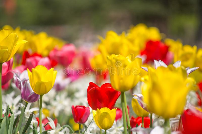 Tulips and Daffodils details. Background. Colorfull spring flowers blooming. Spring season royalty free stock photos