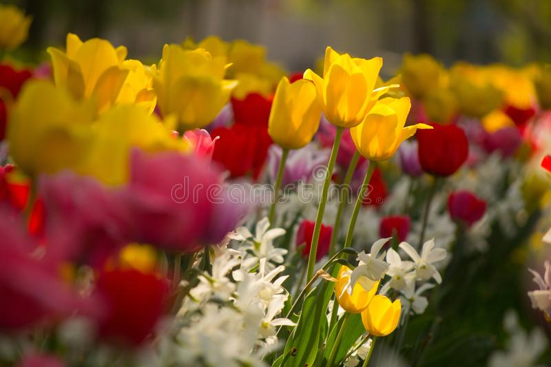 Tulips and Daffodils details. Background. Colorfull spring flowers blooming. Spring season stock image