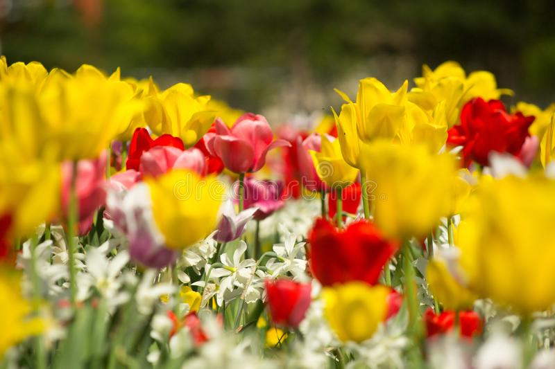 Tulips and Daffodils details. Background. Colorfull spring flowers blooming. Spring season stock images