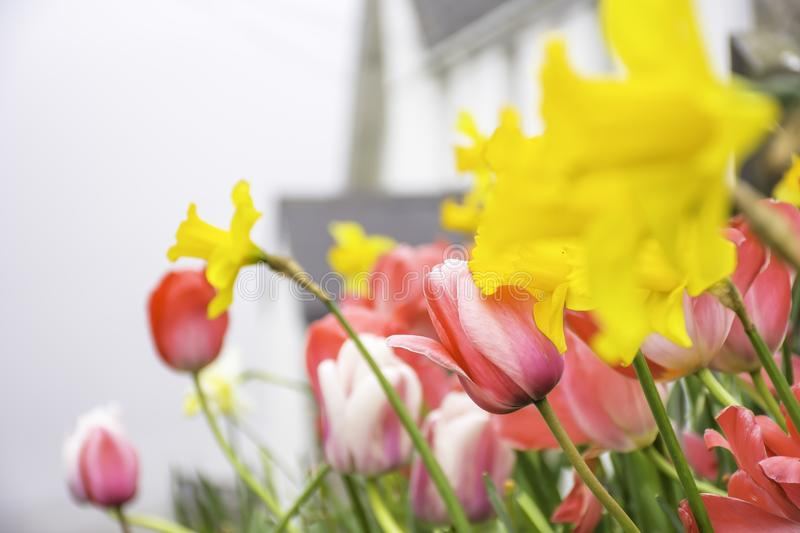 Tulips and Daffodils flowers on british countryside. Pink tulips and yellow daffodils on flower bed.British countryside in spring,blurred cottage in background royalty free stock photography