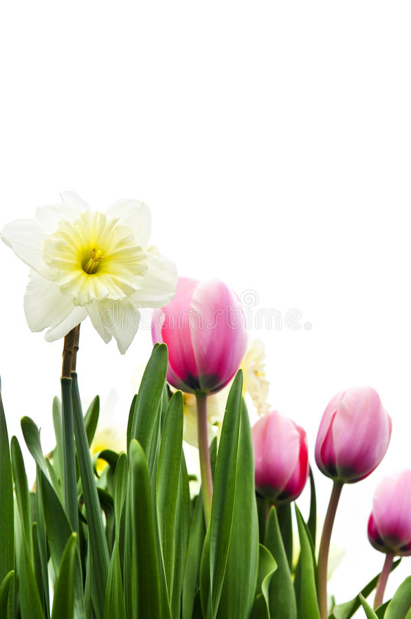 Tulips and daffodils on white background stock image
