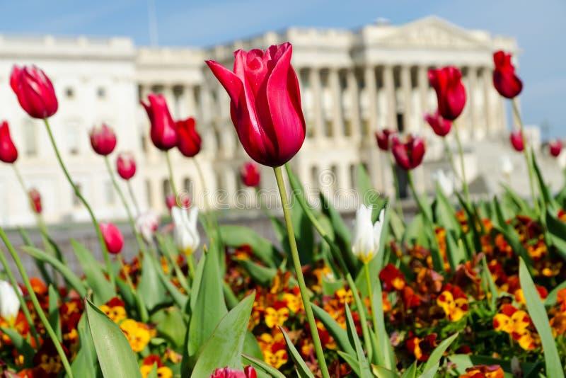 Tulips de florescência no Washington DC imagens de stock royalty free