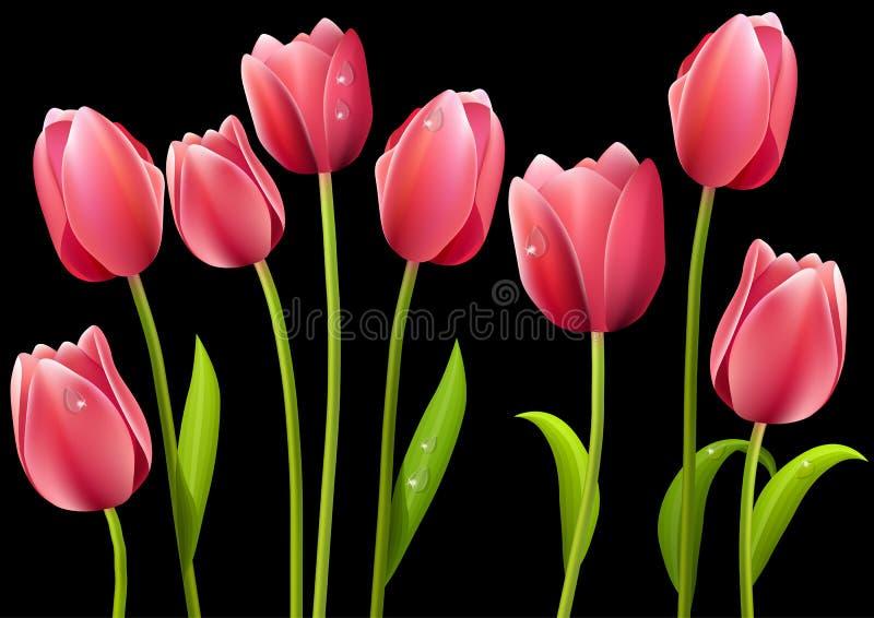Tulips diferentes isolados no fundo preto ilustração do vetor