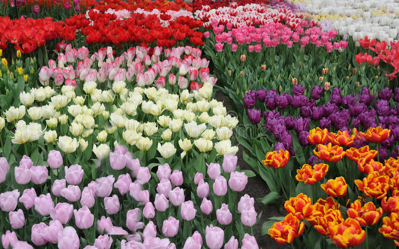 Tulips. Different colorful tulips in keukenhof park , Netherlands stock photo
