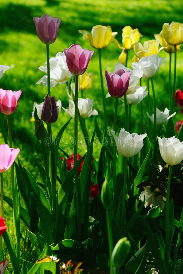 Tulips of Different Colors Blooming stock photos