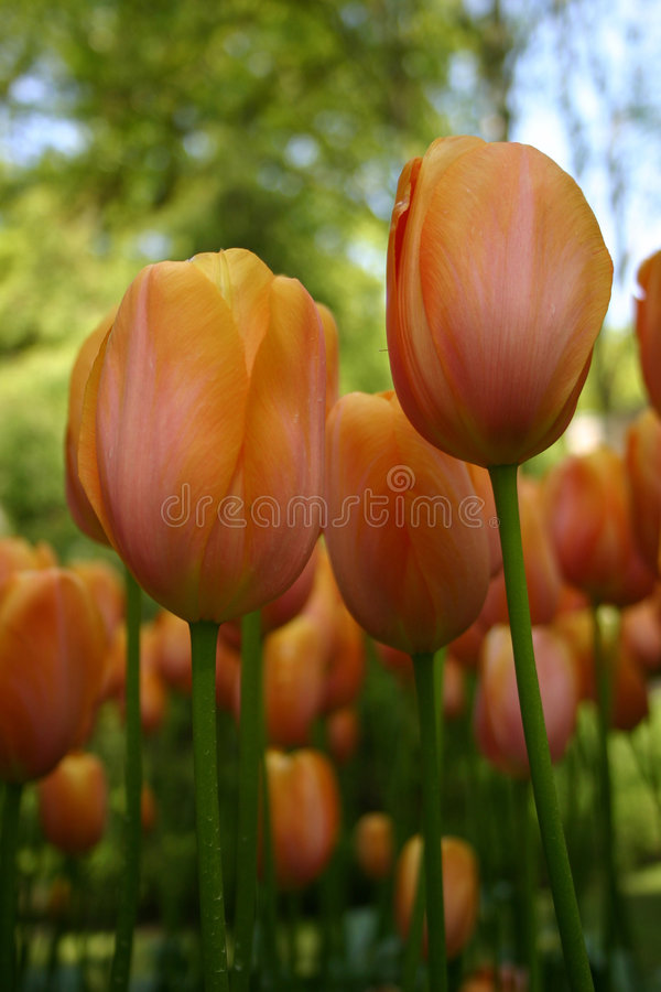 Tulips do pêssego imagens de stock