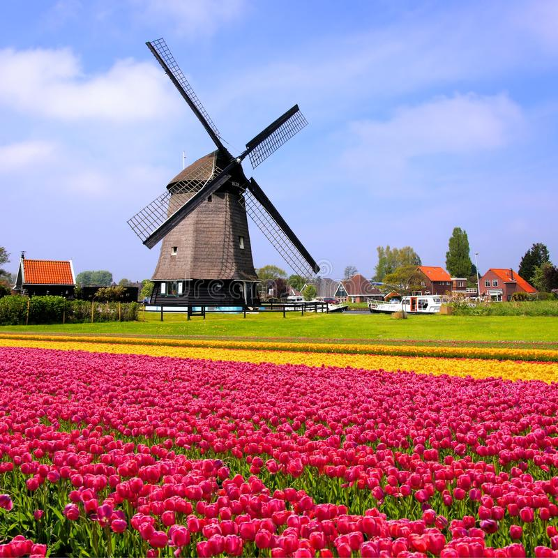 tulips with dutch windmills netherlands stock image image of field colorful 51512227. Black Bedroom Furniture Sets. Home Design Ideas