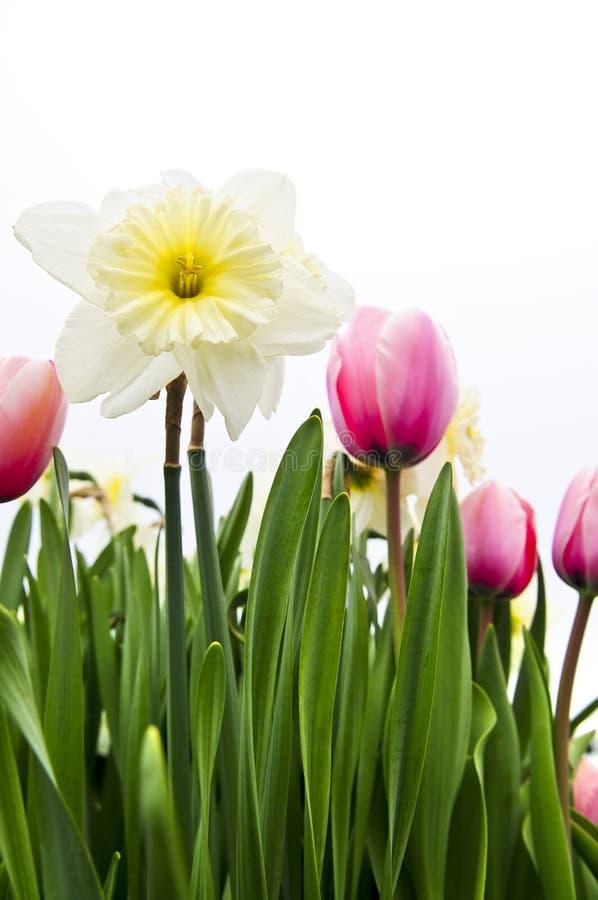 Tulips e daffodils no fundo branco imagem de stock royalty free